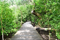 Forest mangrove. Mangrove boardwalks for nature study Royalty Free Stock Photo