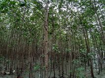 Forest. Mangroveforest, nature, sea, tree royalty free stock photos