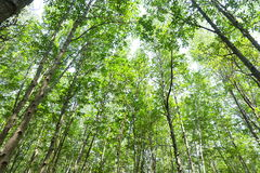 Forest. Many trees in the Forest Stock Image