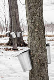 Forest of Maple Sap buckets on trees Royalty Free Stock Images