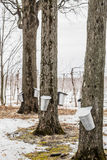 Forest of Maple Sap buckets on trees Stock Photos