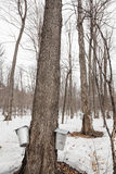 Forest of Maple Sap buckets on trees Stock Photography