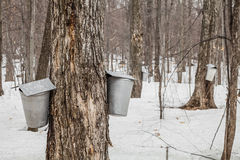 Forest of Maple Sap buckets on trees. In spring stock image