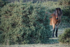 Forest Mare Royaltyfria Foton