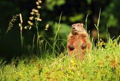Forest marmot Marmota monax Stock Image