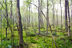 Forest. A forest in the marsh in Lithuania royalty free stock photography