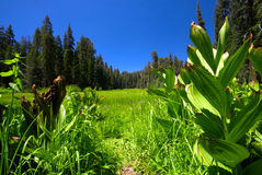 Forest Meadow. A peaceful grassy meadow in the middle of a forest Royalty Free Stock Photos