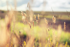 Forest meadow with wild grasses at sunset. Royalty Free Stock Photo