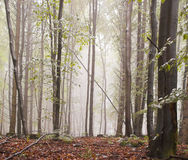 Forest mist. Forest early morning mist in summer royalty free stock images