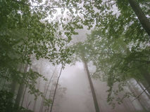 Forest mist. A view looking up into the tops of forest trees on a misty, foggy day Stock Photo