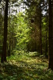 Forest mistery. Walking in the forest is like a mistery - full with sun and trees Royalty Free Stock Photos