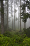 Forest in the mists Stock Photos
