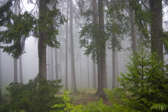 Forest in the mists Royalty Free Stock Photos