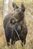 Forest Moose. Moose eating fresh spring sprouts Stock Photography