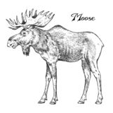 Forest Moose, Wild animal. Symbol of the north. Vintage monochrome style. Mammal in Europe. Engraved hand drawn sketch. For banner or label royalty free illustration