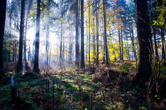 Forest in the morning 2 Royalty Free Stock Photo