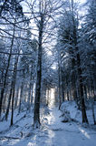 Forest in the morning covered with fresh snow Stock Photos