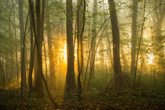 Forest morning. Fog in forest in the morning mist stock photography