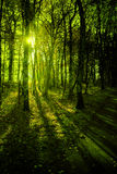 Forest in the morning light Stock Image