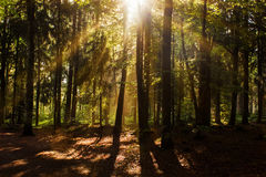 Forest in the Morning Light Royalty Free Stock Image