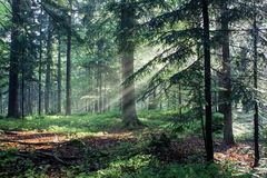 Forest in the Morning Light Stock Images
