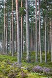 Forest with morning mist. Pine forest with blooming heather Stock Photography