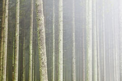 Forest with morning mist Royalty Free Stock Images