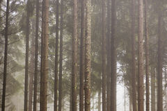 Forest with morning mist Stock Photos