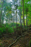 Forest morning. With old broken branches Royalty Free Stock Photography
