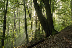 Forest in the morning sun beams. Forest with the morning sun beams shining through trees stock images