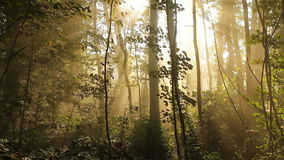 Forest morning with sun rays stock video footage