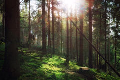 Forest in morning sunlight Royalty Free Stock Photos