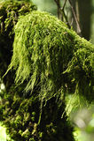 Forest moss. Clump of stringy green moss growing on branch in forest Stock Images