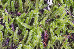Forest Moss Fotos de archivo libres de regalías