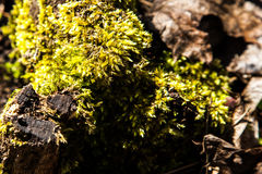 Forest Moss Immagine Stock