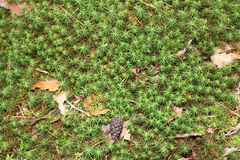Forest moss background Royalty Free Stock Image