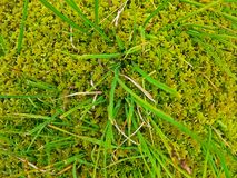 Forest moss close up macro photo. Forest moss close up macro photo zoomed in royalty free stock image