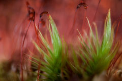 Forest moss. Closeup seed of moss in forest Royalty Free Stock Photography