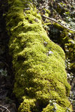Forest - Moss covered tree bole Stock Image