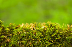 Forest moss. Forest green moss on a blurred background Stock Photography