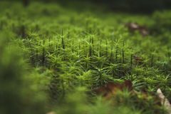 Forest moss Royalty Free Stock Image