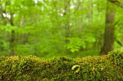 Forest moss. Forest green moss on a tree branch in the forest Stock Photos