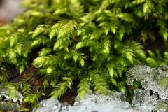 Forest moss with ice scraps in spring on the forest floor. The Forest moss with ice scraps in spring on the forest floor Royalty Free Stock Photo