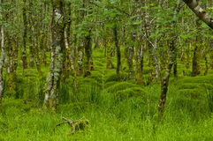 Forest with moss, Ireland Royalty Free Stock Photos