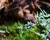 Forest Moss and Lichens. Grow on a decaying stump Royalty Free Stock Photo