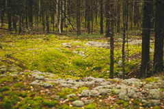 Forest moss. Mossy ground in the forest Royalty Free Stock Image
