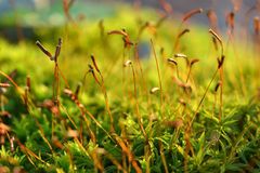 Forest moss spore capsules. The spore capsules of forest moss reach upward toward the autumn sun Stock Photos