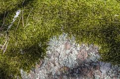 Forest moss on the stone. stock image