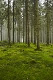 Forest with moss. A forest with trees, stubs and a moss-covered forest floor taken at diffused light Royalty Free Stock Photo
