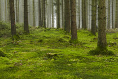 Forest with moss Royalty Free Stock Images